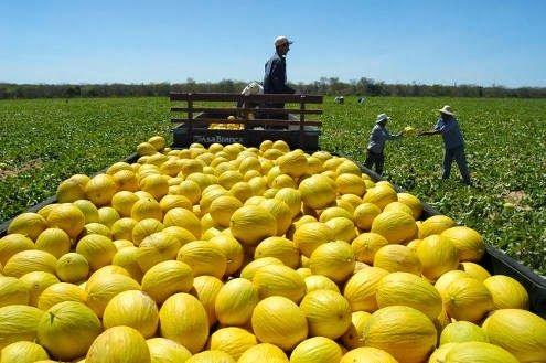Ceará inicia em outubro  embarque de melão para China