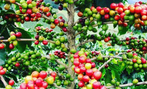 Café – Pipo Gurjão
